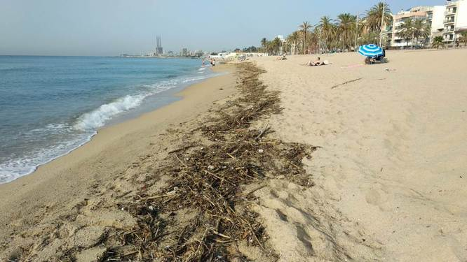 Recollits durant el cap de setmana 31.000 quilograms de residus vegetals a les platges de Badalona