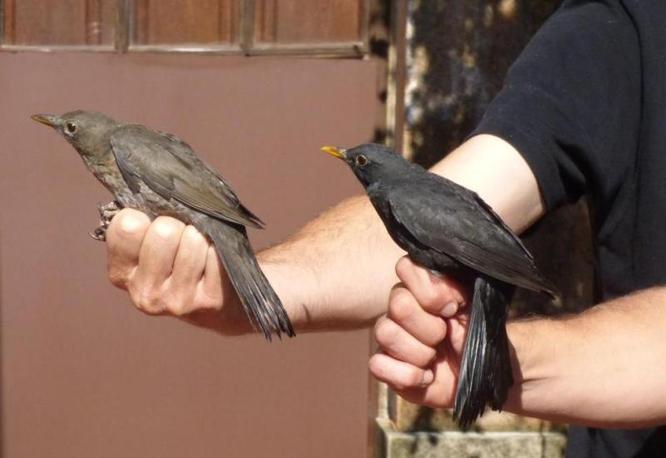 Les aus seran les protagonistes aquest diumenge de les activitats als parcs de Can Solei i Ca l'Arnús i del Torrent de la Font i del Turó de l'Enric de Badalona