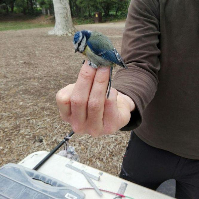 Aquest diumenge, 30 de setembre, es farà un taller d'anellament d'ocells al parc de Can Solei i de Ca l'Arnús de Badalona i el taller creatiu Dibuixem, pintem i construïm ocells